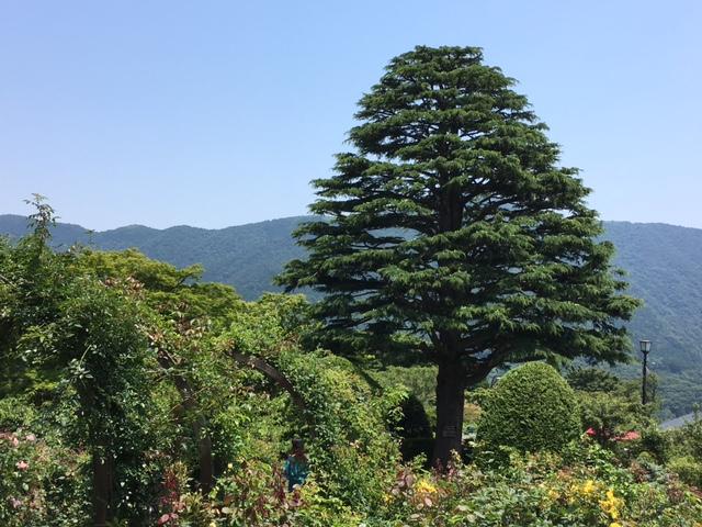 ヒマラヤ杉20170708