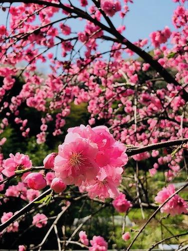 月めぐり_漢方_里山_桃の花